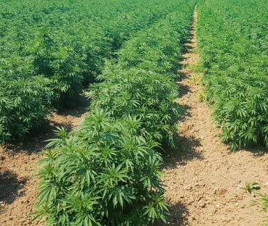 Feld Marihuana